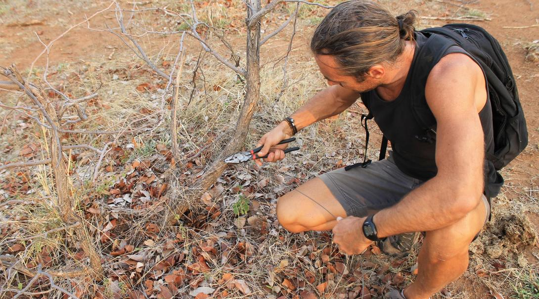 Projects Abroad Conservation volunteer cuts off a snare that was set by poachers at the Wild at Tuli reserve in Botswana.